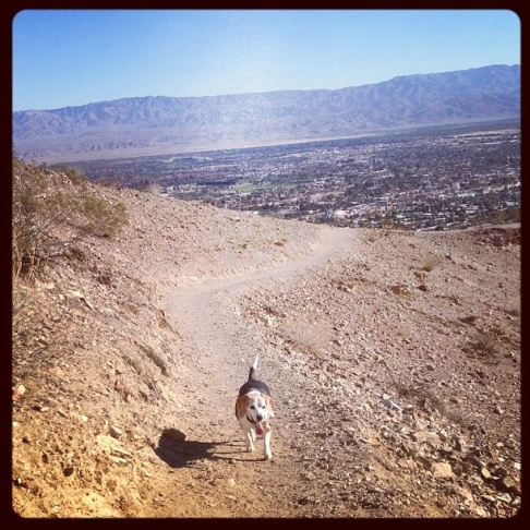 Hiking up to the cross above  Palm Desert. Winston the 15 year-old beagle is in better shape than me!