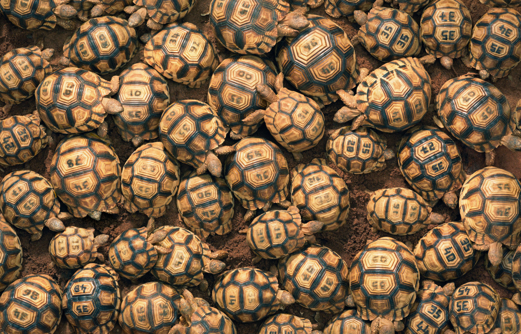 Carving an ID code on the shells of ploughshare tortoises discourages poachers from stealing them from a breeding station.