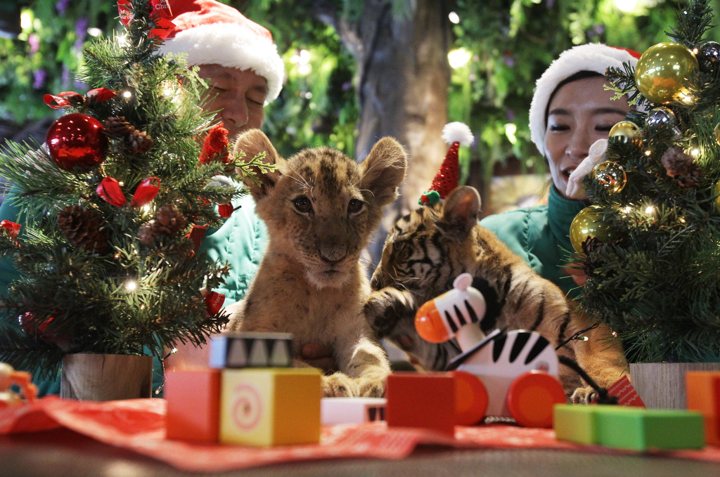 A three-month-old female lion named Dominjoon and a three-month-old female tiger named Jangbori play with Christmas trees at the Everland amusement park on December 23, 2014 in Yongin, South Korea.