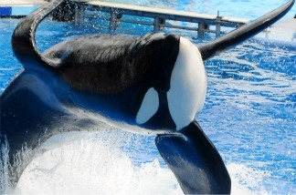 Killer whale 'Tilikum' appears during its performance in its show 'Believe' at Sea World on March 30, 2011, in Orlando, Fla. This is the first time since the six-ton whale has performed since killing trainer Dawn Brancheau at the marine park on Feb. 24 2010.