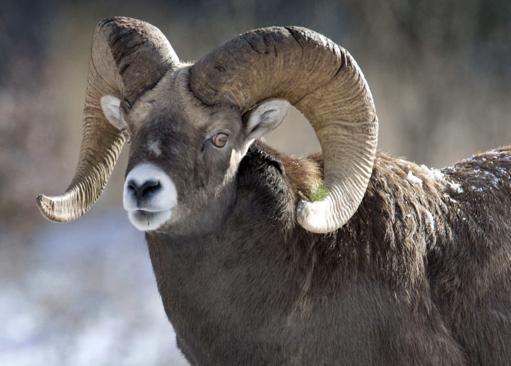 A Bighorn Sheep near the road between Banff and Lake Louise Nov. 23, 2009.