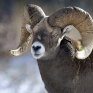 A Bighorn Sheep near the road between Ba