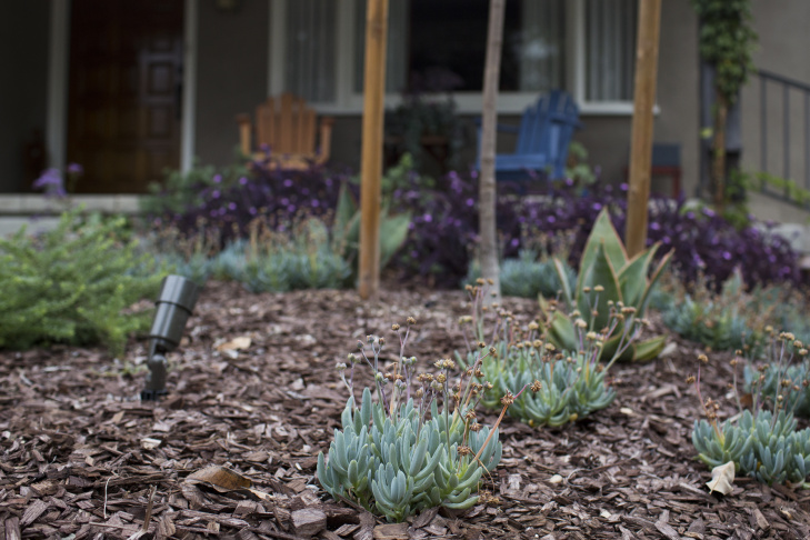 The turf outside this Pasadena home was transformed into a drought-friendly yard using the Metropolitan Water District's Cash for Grass program in October 2014. The $450 million water conservation program has now ran out of money.
