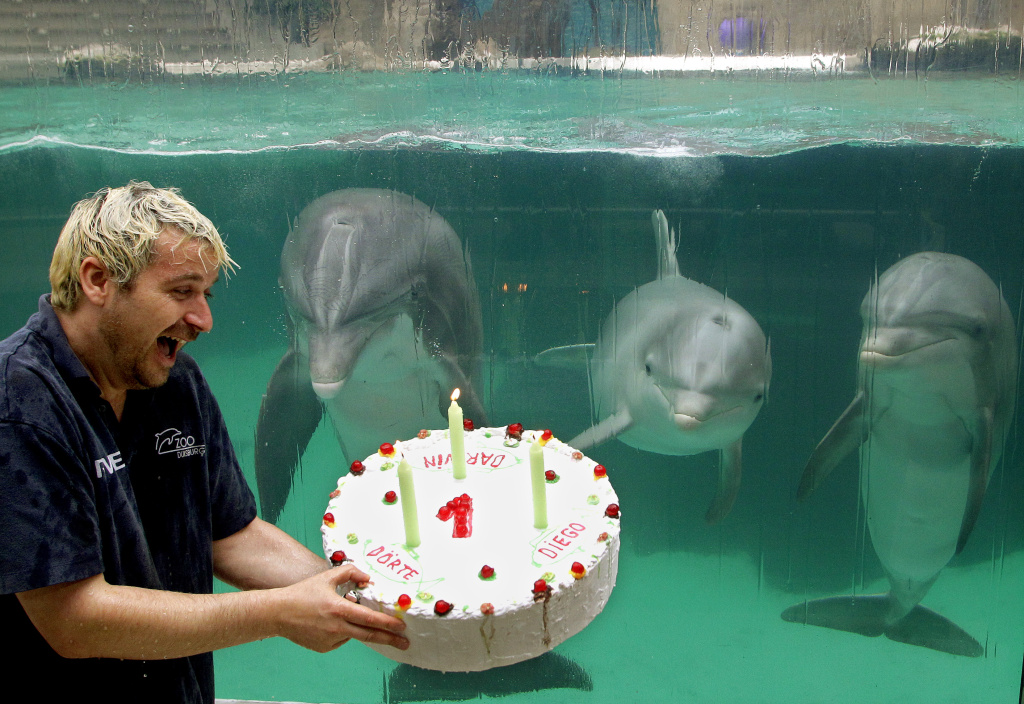 Dolphin trainer Thomas Lange holds a birthday cake for the young dolphins Diego, Doerte and Darwin on August 31, 2012 at the zoo in Duisburg, western Germany. Within two weeks in summer 2011, the three dolphins were born at the zoo's dolphinarium and got the cake now for their first birthday.