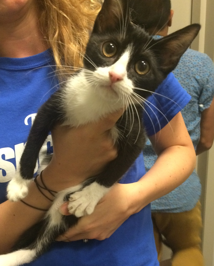 Crinkles the cat from spcaLA is one of the many kittens who will be riding around in an Uber for National Cat Day. The promotion UberKittens is where you can use the Uber app to ask a driver to bring you two kittens to play with.