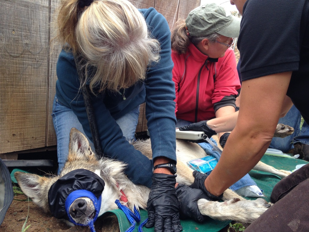 A team of volunteers works with the U.S. Fish and Wildlife Service to take vital signs on a captive female Mexican gray wolf at the Sevilleta National Wildlife Refuge in New Mexico.