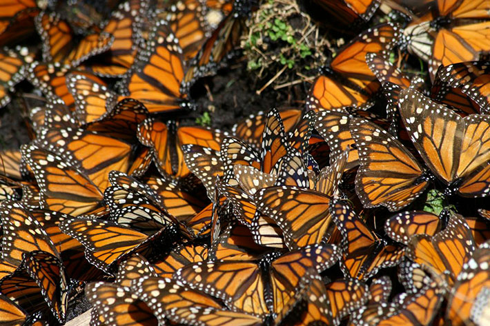 Monarch butterflies are having a really good winter.