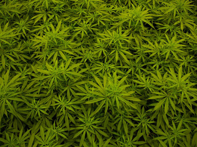 Indoor cannabis cultivation in Calaveras County pictured on October 20, 2016.