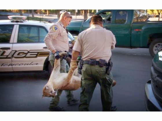 Officials carry a mountain lion to a truck after sedating it with a dart in the parking lot of the mall in Temecula on Friday, March 6, 2015. The lion later died for unknown reasons.