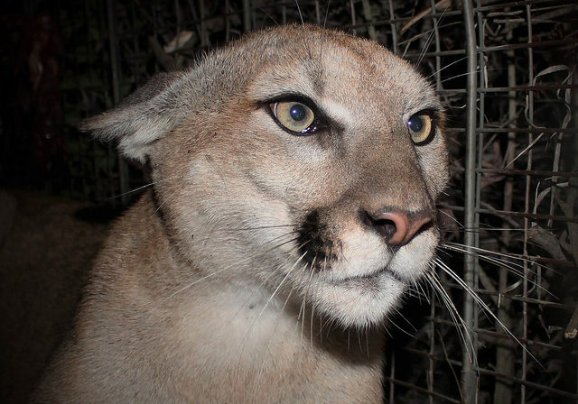 Mountain lion P-65, a subadult female, was captured in the central portion of the Santa Monica Mountains in March 2018.