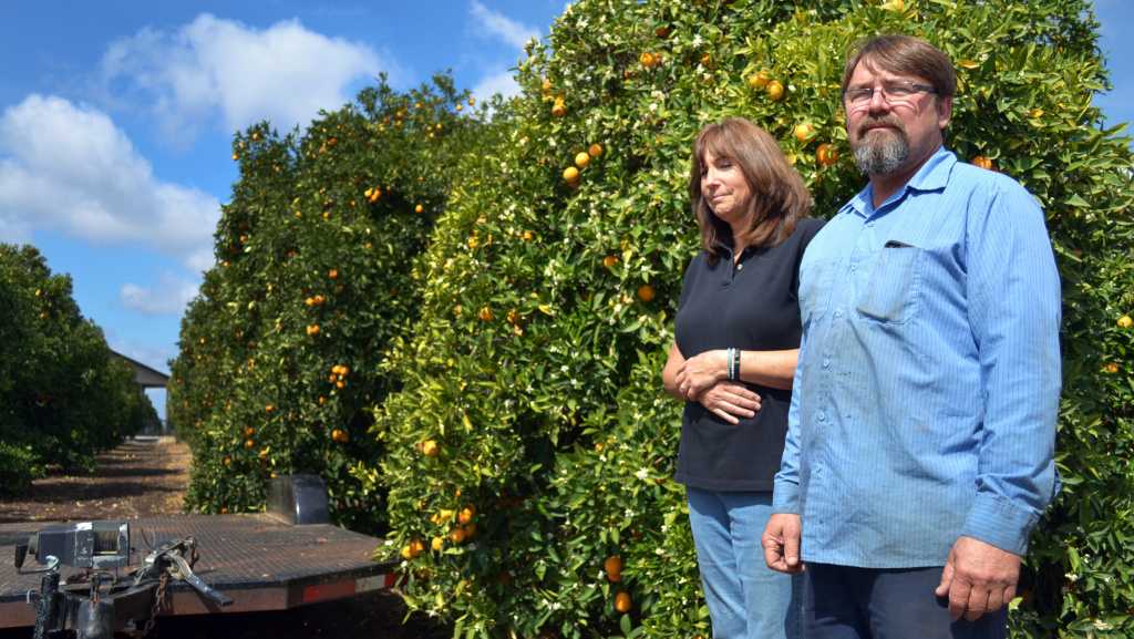The recent rain rains kept Suzanne and Mike Collins' orange grove alive, but the rainy season is ending. If they don't get federal irrigation water by this summer, their trees will start dying.