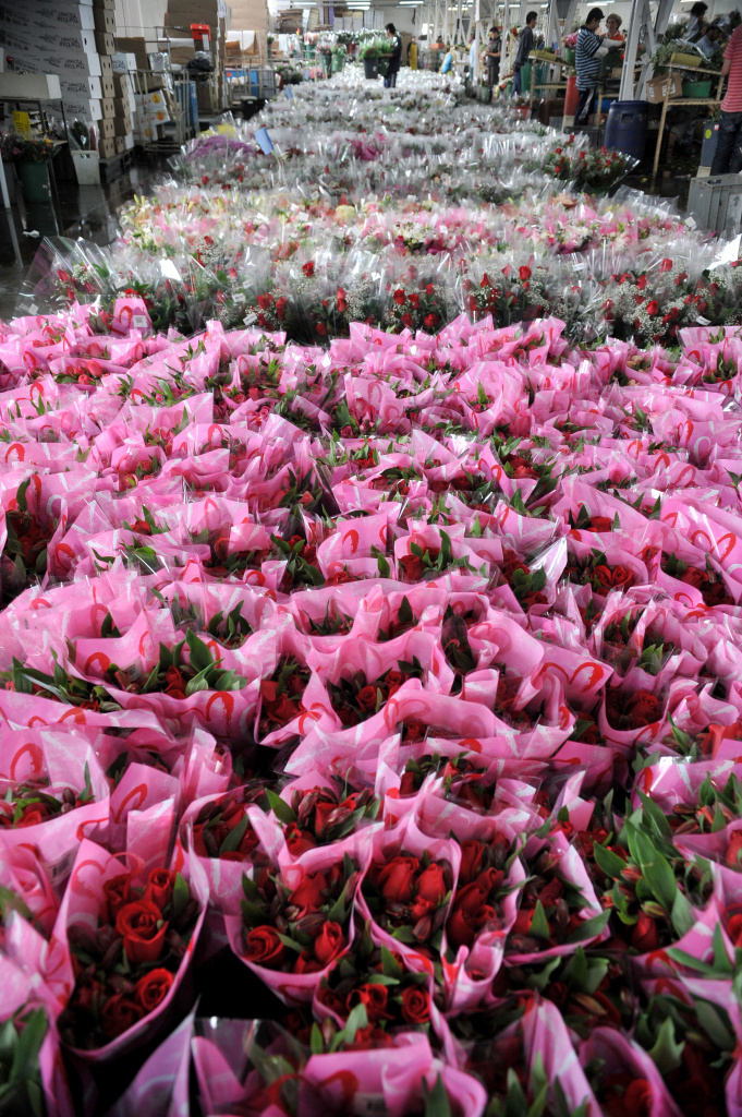 View of packed bouquets of roses ahead of Valentine's Day, the biggest holiday of the year for fresh-cut flower sales, at a flower farm of