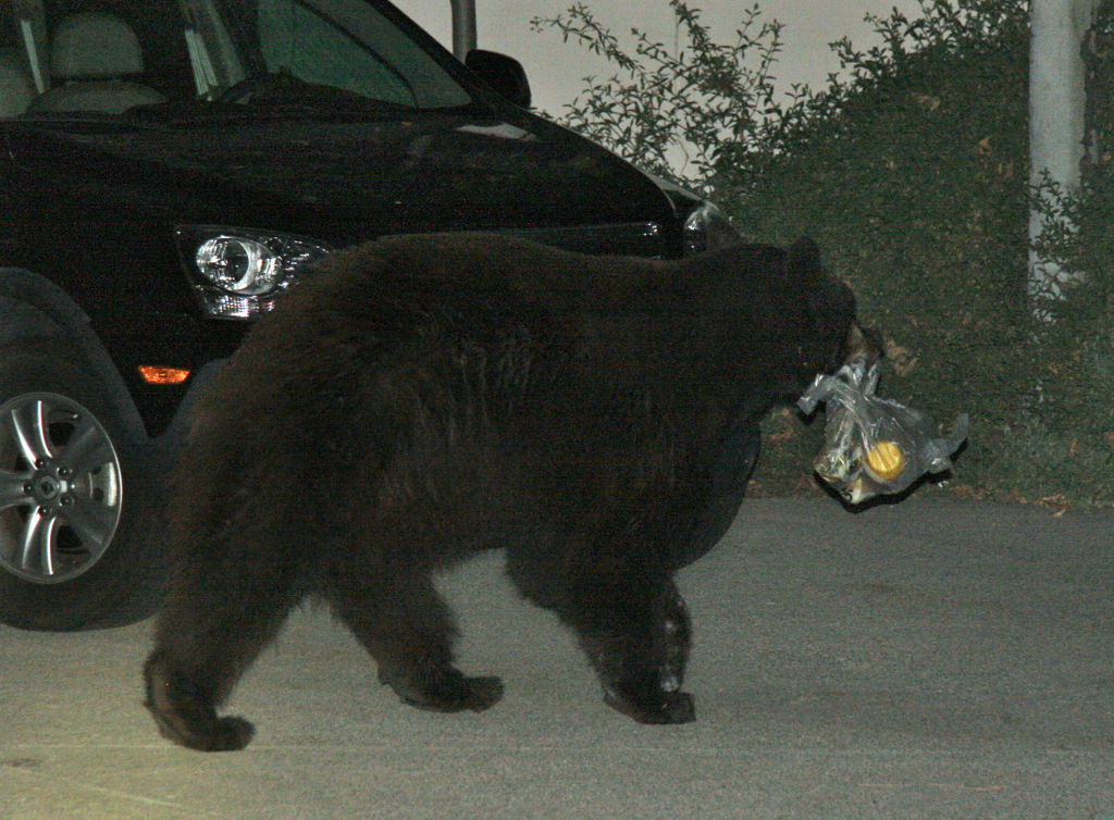 This undated image provided by Kelly MacDonald shows a Meatball the bear – also known as