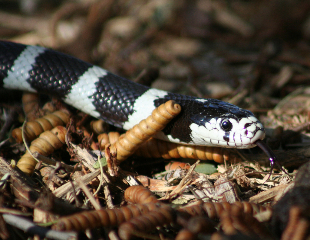 An up-close look at a California kingsnake.