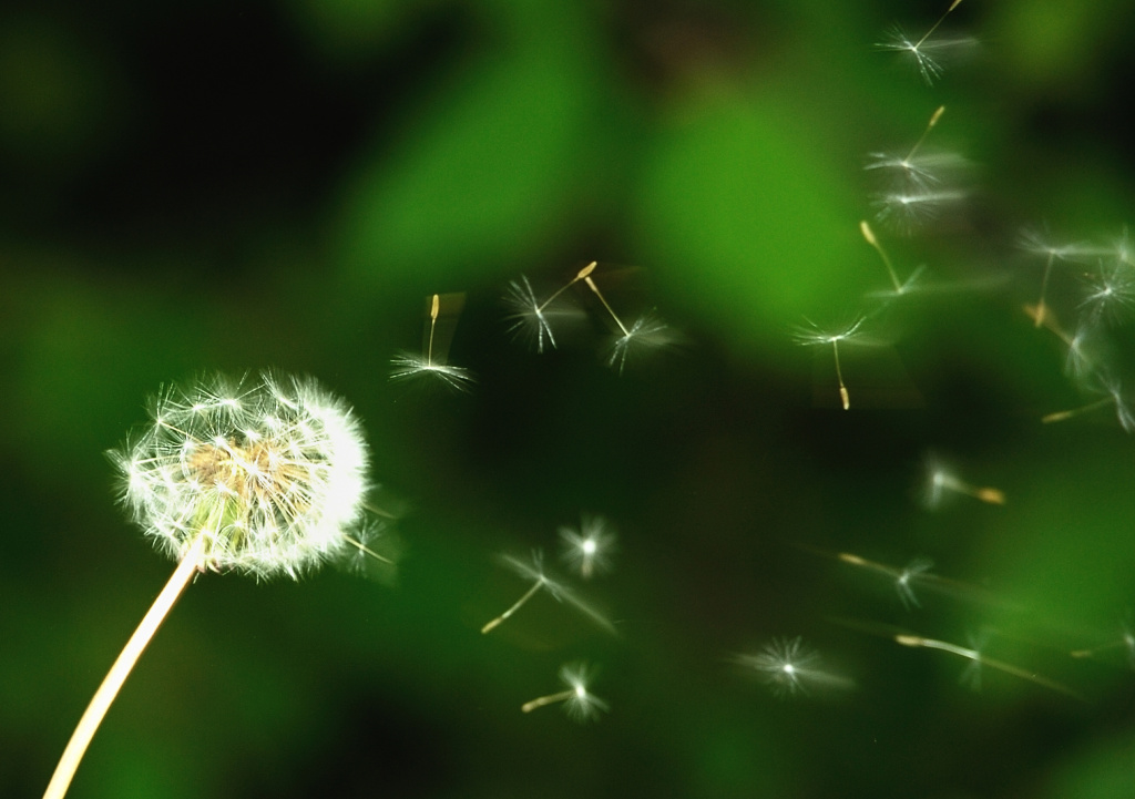 Dandelion seeds blow in the wind.