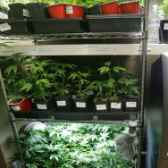 An ATM sits next to a rack of marijuana clone plants that are used to grow medical marijuana on Wednesday at The Joint, a medical marijuana cooperative in Seattle. Last week Washington became the second U.S. state to adopt rules for the recreational sale