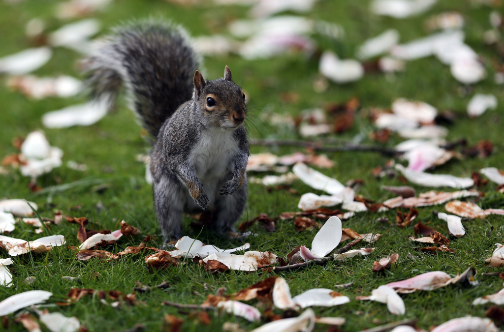 A squirrel stands among fallen blossom leaves in Royal Victoria Park on April 30, 2013.