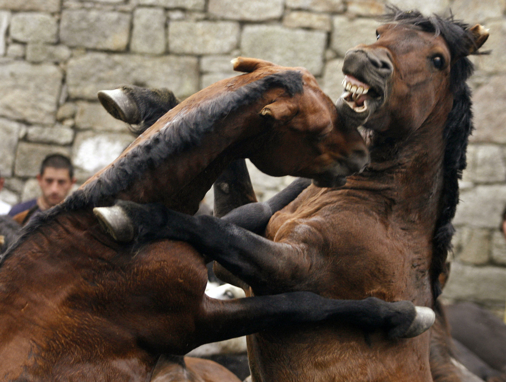 Two wild horses fight during the 400-year-old horse festival called