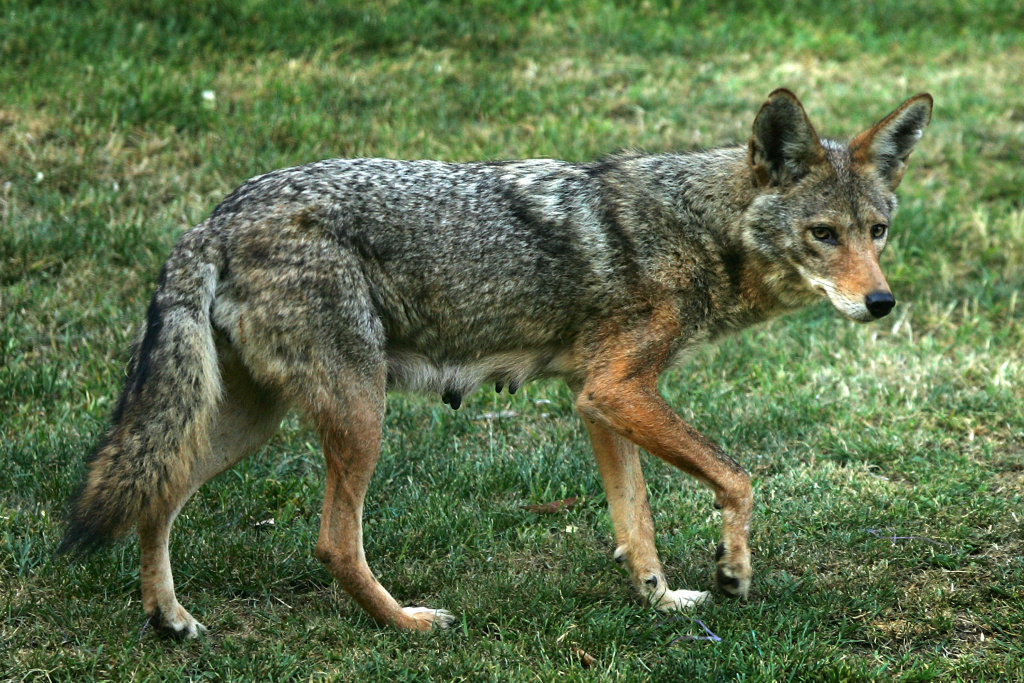 A coyote in Griffith Park, the nation's largest urban park, May 9, 2007 in Los Angeles, California.