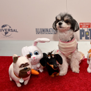 Tinkerbelle the Dog walks the red carpet with Spin Master's plush during The Secret Life of Pets toy line reveal at Toy Fair on February 13, 2016 in New York City.
