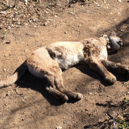 Mountain lion death
