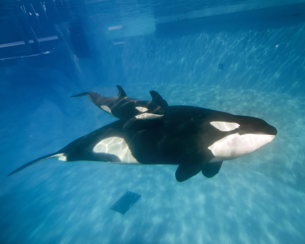 In this handout photo provided by SeaWorld San Diego, mom and baby killer whale swim together at SeaWorld San Diego's Shamu Stadium December 4, 2014 in San Diego, California. The California Coastal Commission on Thursday, October 8, 2015, banned breeding of captive orcas at the park.