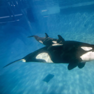 In this handout photo provided by SeaWorld San Diego, mom and baby killer whale swim together at SeaWorld San Diego's Shamu Stadium December 4, 2014 in San Diego, California.
