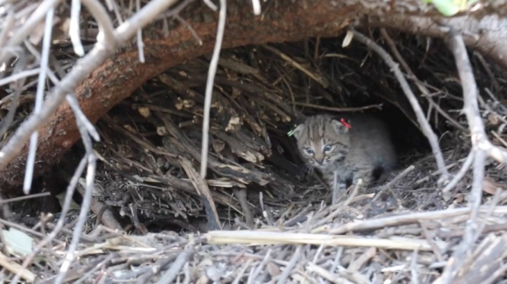 B-340 and B-341 were born earlier this spring in the Santa Monica Mountains.