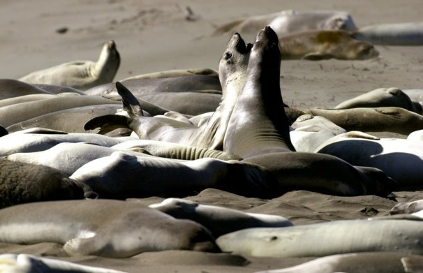 Elephant seals on a beach along California's central coast in San Simeon Calif. Researchers have detected swine flu in elephant seals off the Central California coast, saying it was the first time a human pandemic strain has been found in marine mammals.