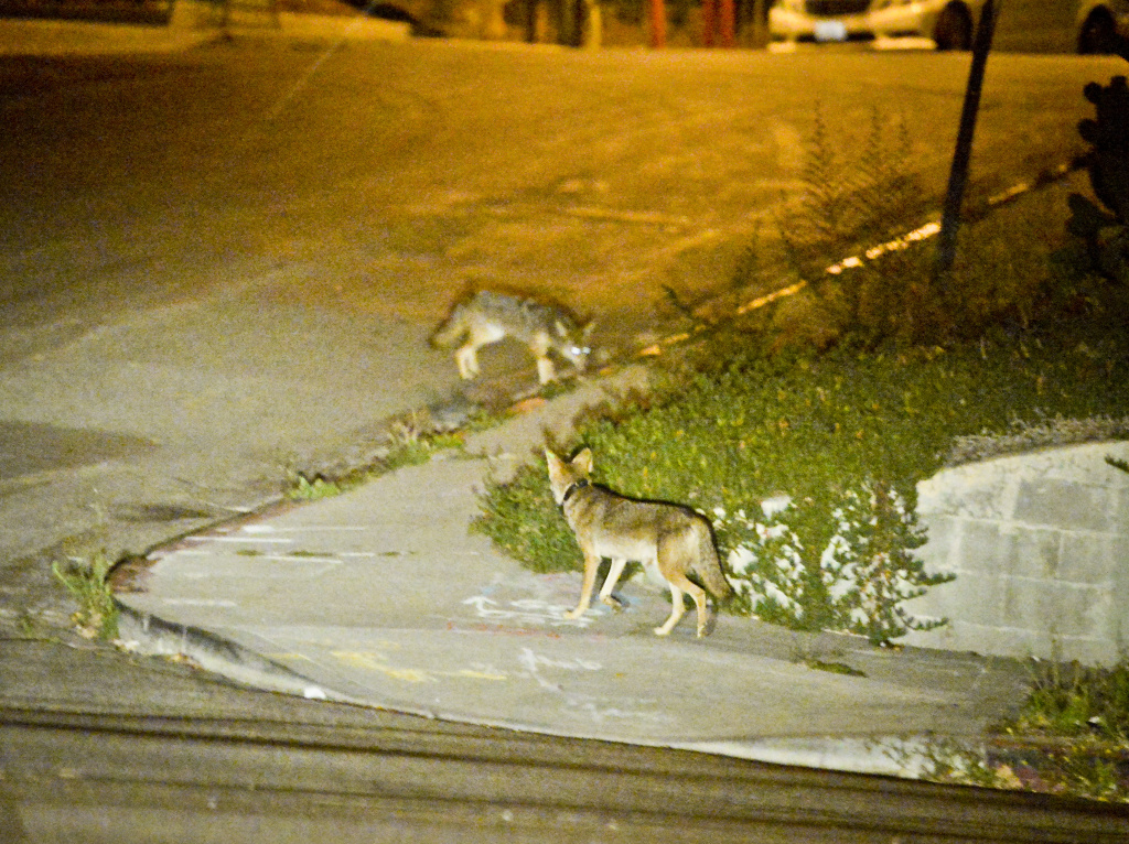Two coyotes walk near a construction site in Silver Lake near downtown Los Angeles in June 2015.