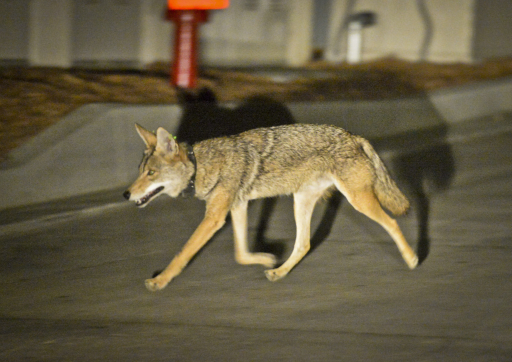 Coyote C145 walks near a construction site in the Silver Lake neighborhood near downtown Los Angeles late Wednesday evening June 3rd, 2015. The National Park Service's urban coyote study is one of the few looking at urban coyote behavior in Southern California.