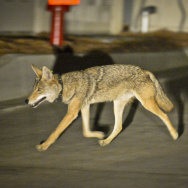 Coyote C145 walks near a construction site in the Silver Lake neighborhood near downtown Los Angeles late Wednesday evening June 3rd.