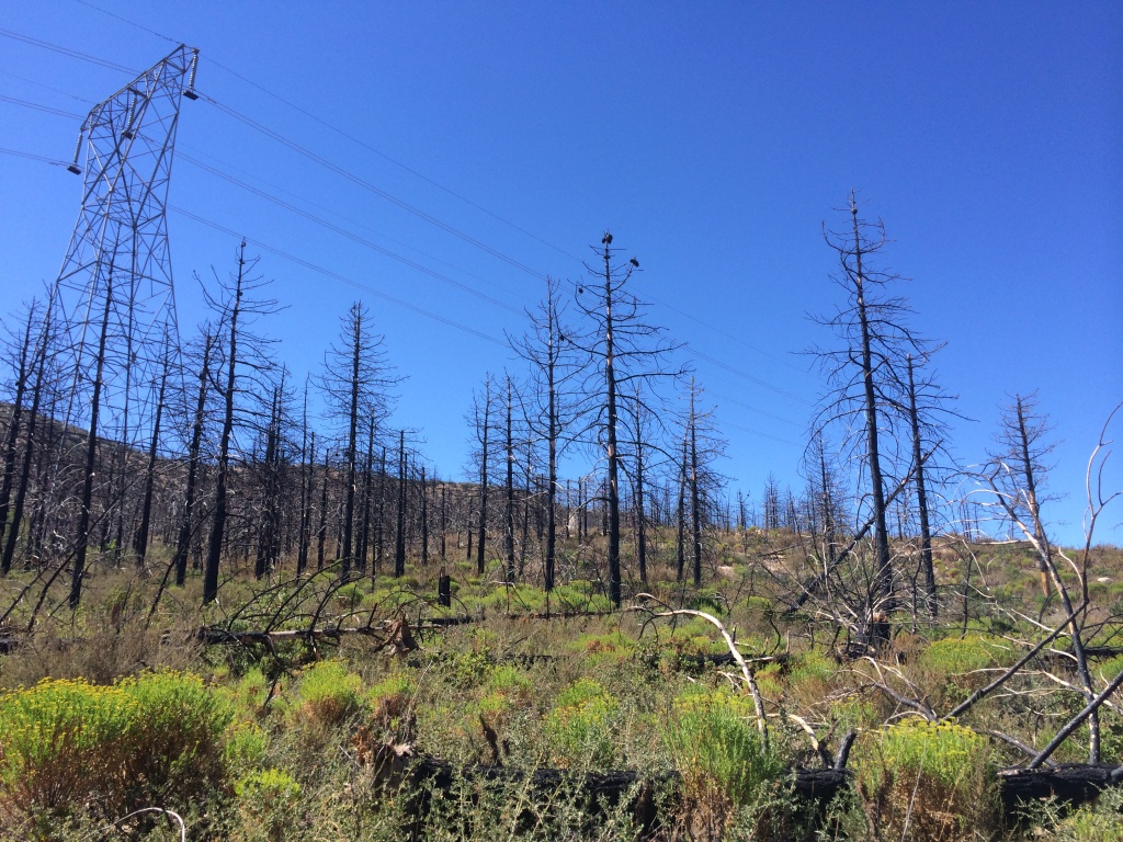 Burned coulter pines stand among new growth in the Angeles National Forest.