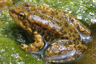 This young mountain yellow-legged frog, seen in San Bernardino County, Calif., is less than 1 1/2 inches long. Adults measure about 2 to 3 inches long. Scientists are trying to revive the frog population that has been decimated by drought, fire and diseases.