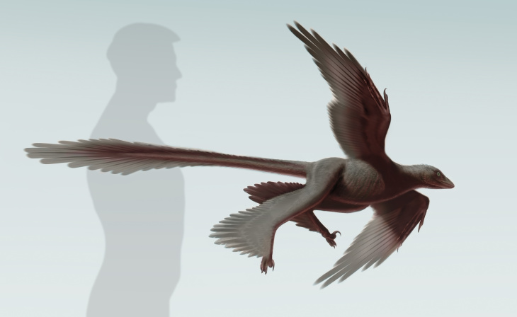 This is an illustration of newly discovered feathered dinosaur, Changyuraptor yangi.