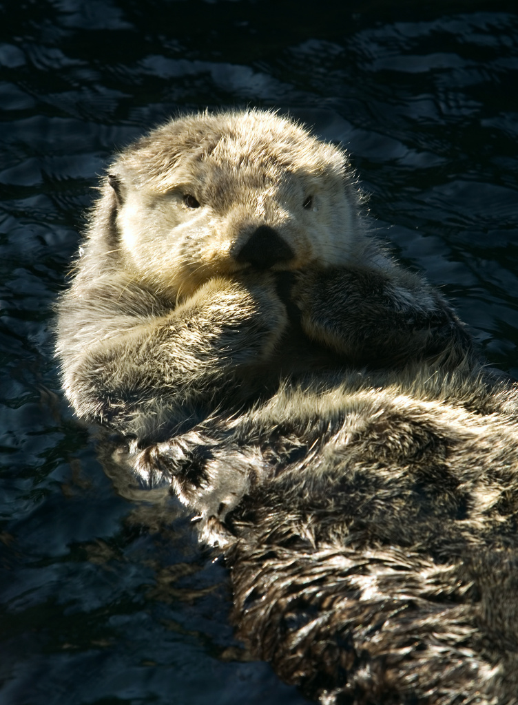 The U.S. Geological Survey has seen a record number of sick, injured and dead sea otters along the California in the past year.