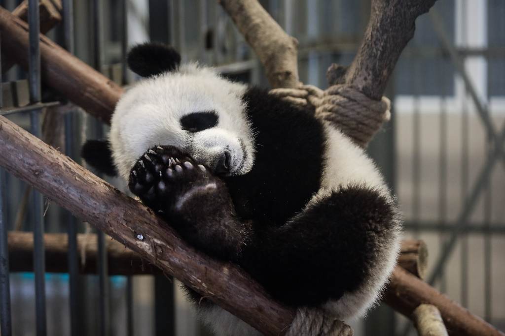 A baby panda sleeps on the tree at the Chengdu Giant Panda Breeding Research Base on April 3, 2018 in Chengdu, Sichuan Province, China.