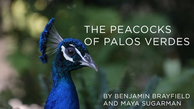 The Peacocks of Palos Verdes