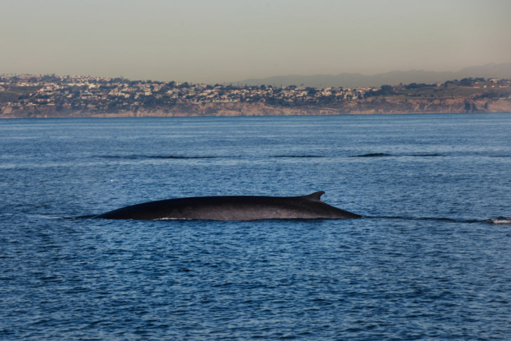 A fin whale swims off the coast of Los Angeles. These whales can get up to 70-feet long and weigh up to 150,000-lb, making it the second largest animal on earth.