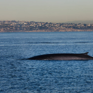 Fin Whale Watch Long Beach