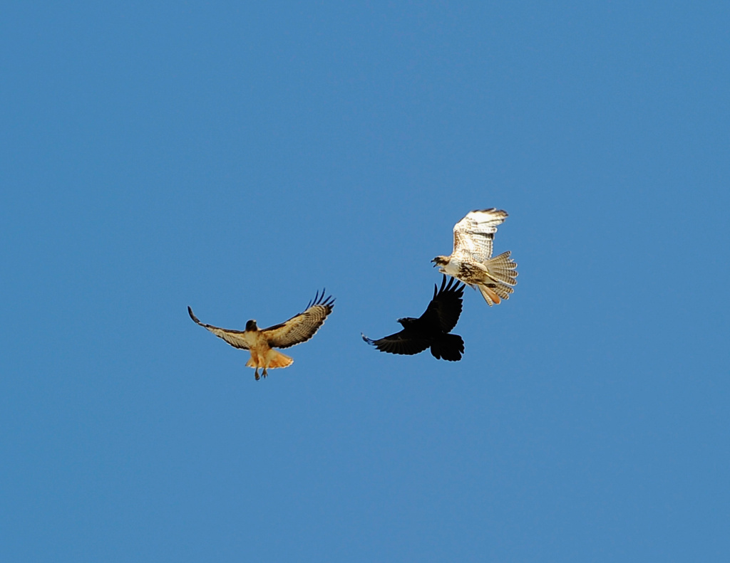 Two peregrine falcons chase a black crow.