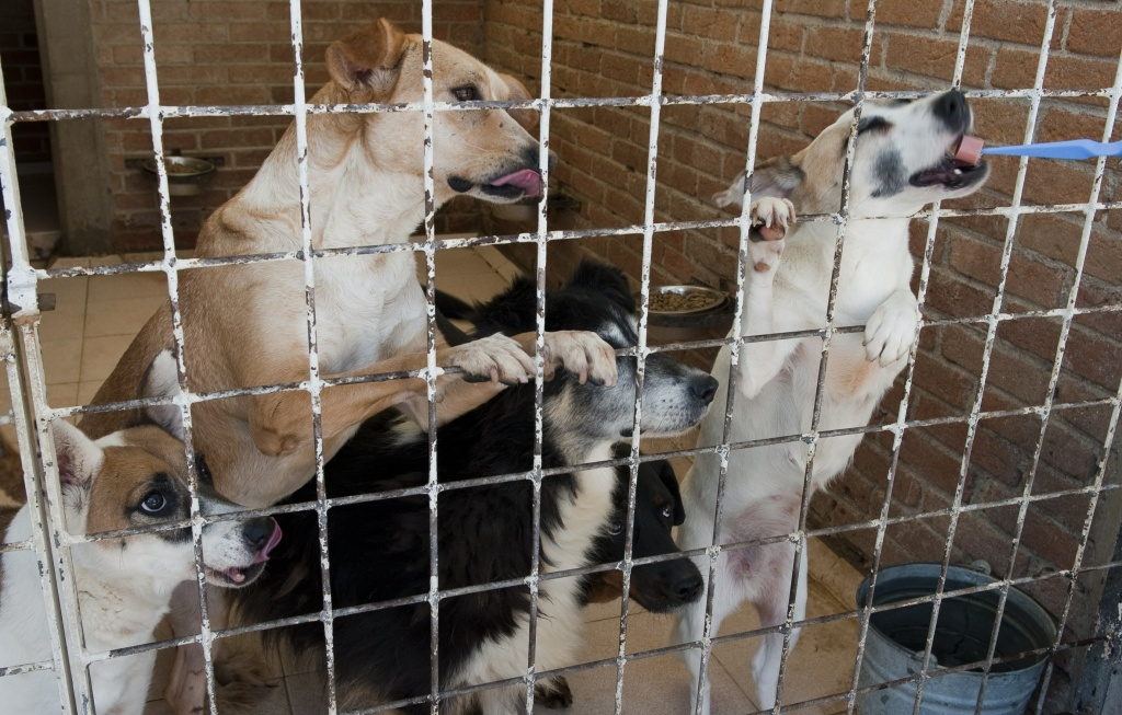 Mixed breed dogs get morsels of Vienna sausages as part as their diet at the adoption center of Animal Rescue in Cuautitlan Izcalli, state of Mexico, Mexico on October 13, 2010.