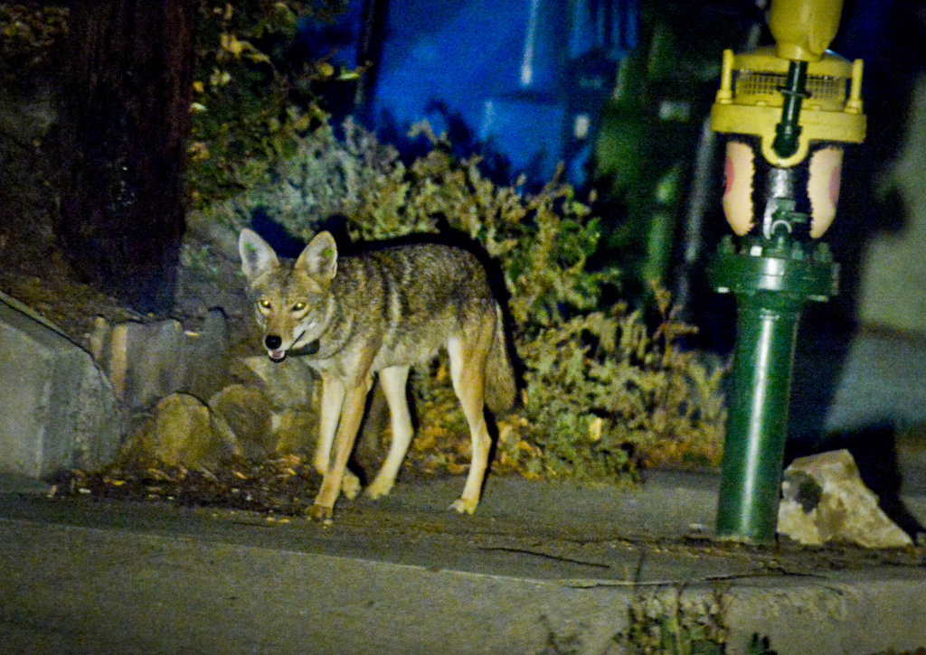 Coyote C145 walks near a construction site in the Silver Lake neighborhood near downtown Los Angeles late Wednesday evening June 3rd.   National Park Service Ecologist Justin Brown tracks coyotes living near downtown Los Angeles late Wednesday night June 3 and early Thursday morning June 4, 2015, in Los Angeles, CA. Some of the coyotes are fitted with radio collars.