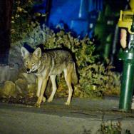 Urban Coyotes - 4