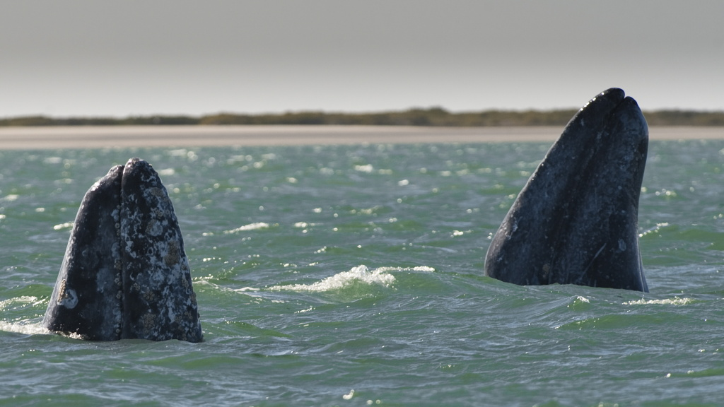 Two gray whales show their rostrums at the San Ignacio Lagoon, Baja California Sur state, Mexico on February 28, 2010. Although a debate is now raging among some whaling nations to begin limited hunting again, the Pacific gray whales have been protected since 1947, and are at the center of a growing whale-sightseeing industry. Their numbers have dropped by a third, from around 26,000, in the late 1990s. Scientists say that the decline was caused by melting artic ice impacting on their food chains, which include small fish, crustaceans, squid and other tiny organisms. A small-scale whale-sightseeing industry was developed in the remote spot of San Ignacio Lagoon, off Mexico's northwest Baja California peninsula, where grey whales breed and nurse their calves each year after migrating thousands of miles from Canada and Alaska.