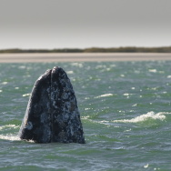 Two gray whales show their rostrums at t
