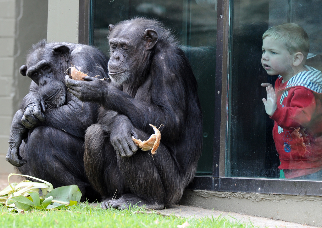 A child watches chimpanzees sharing a coconut in their newly renovated habitat at Taronga Zoo in Sydney on Sept. 30, 2011.