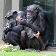 A child watches chimpanzees sharing a co