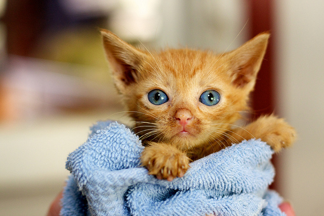 Image of kitten in towel. Courtesy of eaghra via Flickr - http://bit.ly/1prCVWA