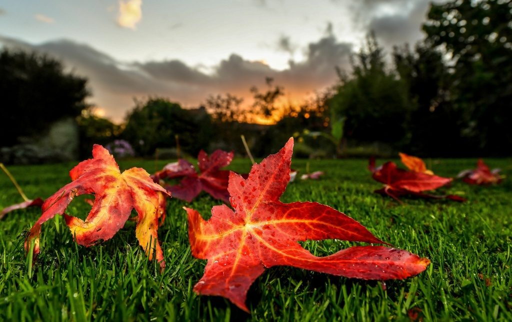 A leaf from a sweetgum tree lies on the grass at Godewaersvelde, France on October 27, 2017.